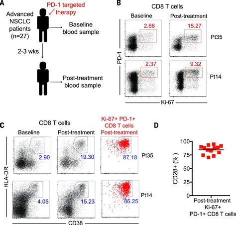 Rescue of exhausted CD8 T cells by PD-1–targeted therapies