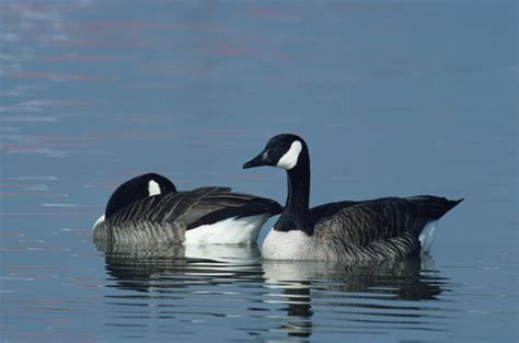 How to Tell the Sex of a Canadian Goose | Animals - mom