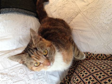 Young Female Indoor Only Cat For Sale | London, East