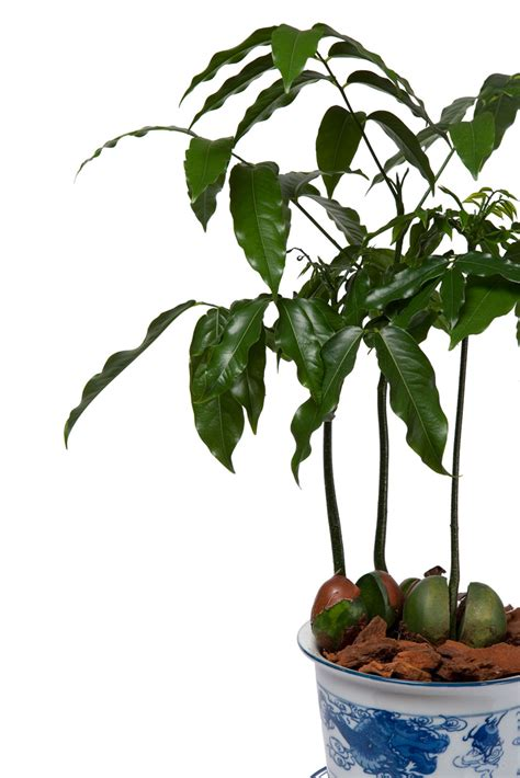 What Is A Lucky Bean Plant: How To Grow Lucky Bean Plants