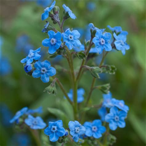 Chinese Forget Me Not 'Firmament' - Cynoglossum amabile