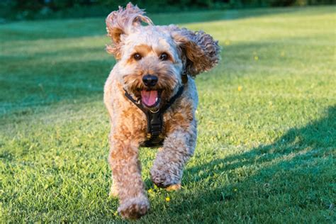7 Best Foods to Feed your Adult and Puppy Cockapoo in 2020