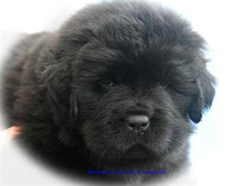 Bluebears - Newfoundland Puppies for sale