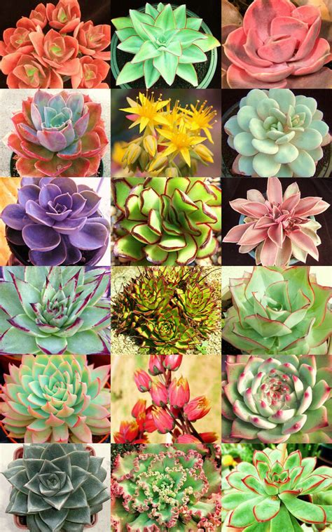 ECHEVERIA variety mix @@ rare plant exotic succulent seed