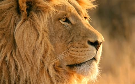 Lion Wallpapers | HD Wallpapers | ID #11744