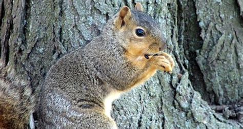 How to tell if a squirrel is male or female
