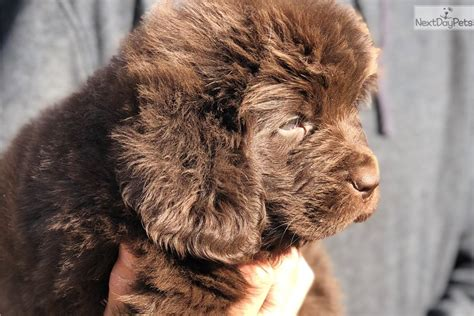 Briggs : Newfoundland puppy for sale near Lake Of The