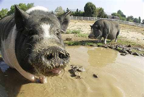 Free Pig in the mud Stock Photo - FreeImages