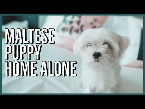 Maltese puppy for sale near Ft Myers / SW Florida, Florida
