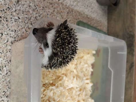 Pygmy hedgehogs for sale | Dudley, West Midlands | Pets4Homes