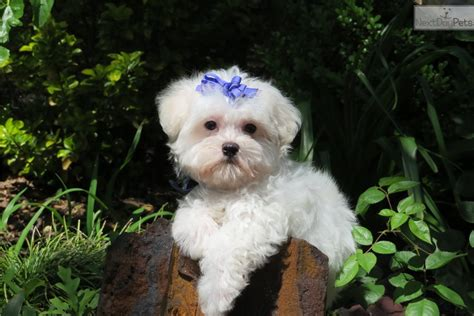 ** Sweet Lil Curly**: Maltese puppy for sale near Tyler
