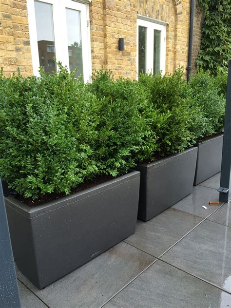 Natural Buxus planted in barrier planters to create