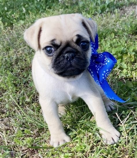 Teacup Maltese Puppies for Sale in USA – Top Breeders