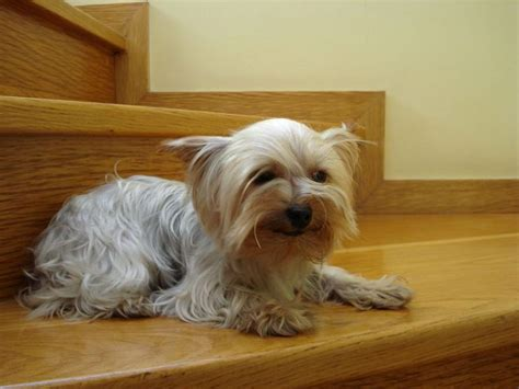 15 Most Common Yorkie Health Issues - Everything You Need