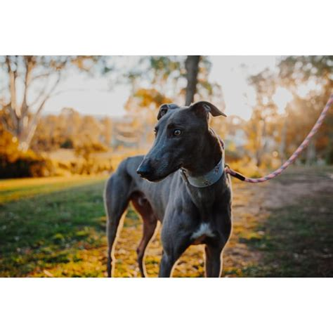 Peace (In Foster) - Large Male Greyhound Dog in NSW